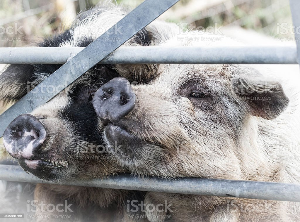 two pigs stock photo