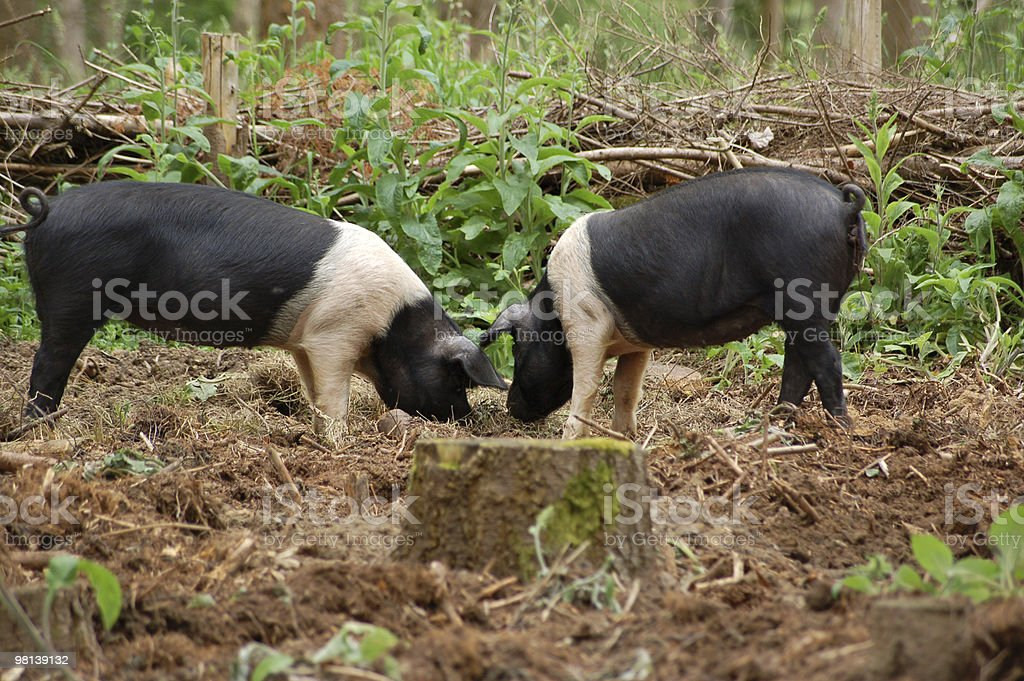 Two pigs rooting for food royalty-free stock photo