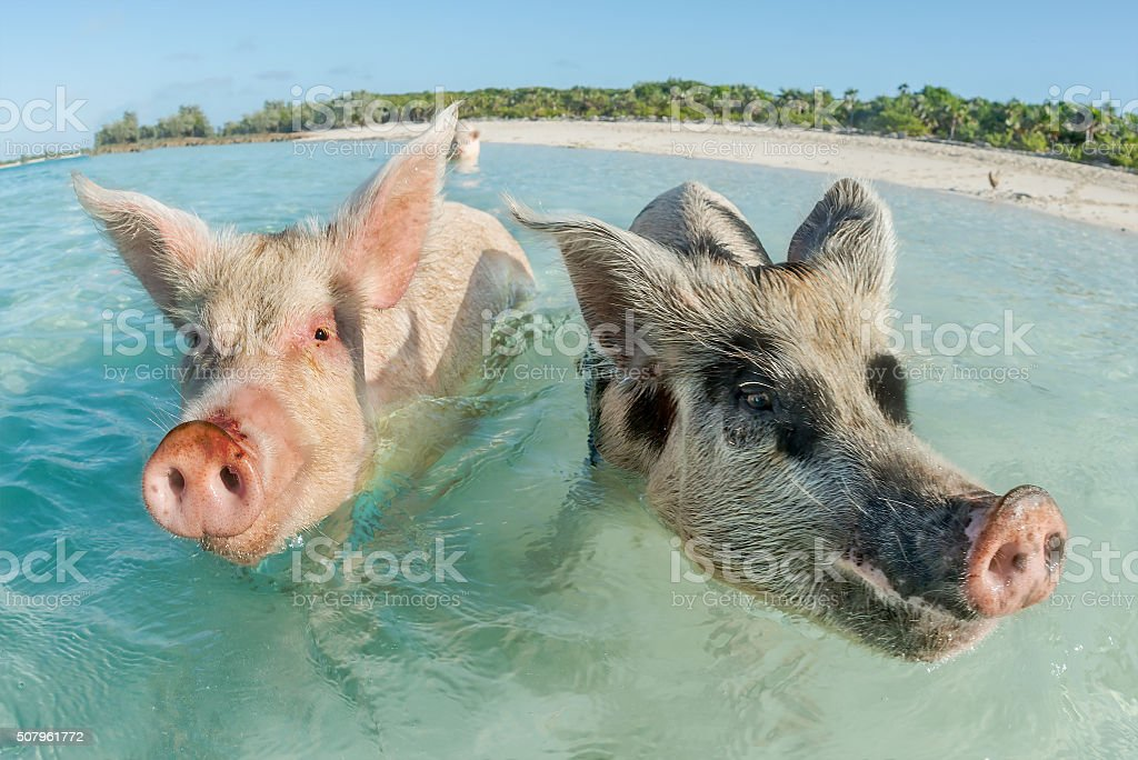 Two pigs swimming in the Bahamas stock photo
