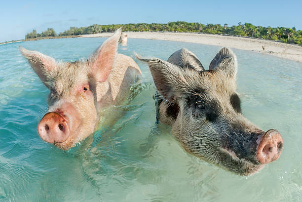 Two pigs swimming in the Bahamas In Big Major Cay, the Exumas, you can get very close to the famous swimming pigs. Bahamas, December herbivorous stock pictures, royalty-free photos & images