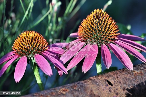 Close-up of two pink coneflowers blooming along a rusty pipe fence in morning light.