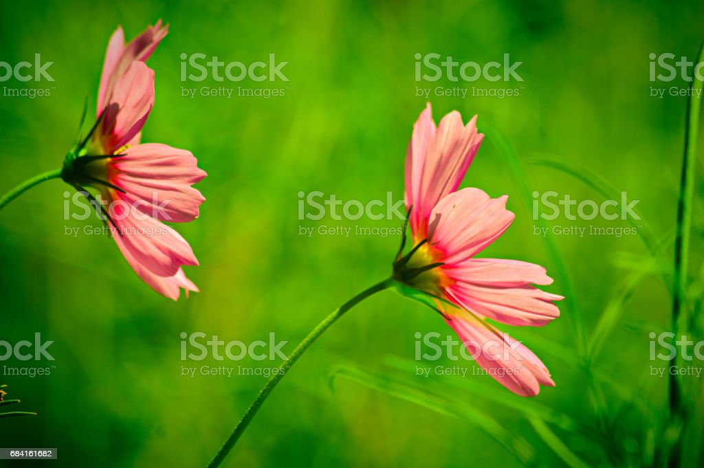 Two Pink Cosmos Flowers foto stock royalty-free