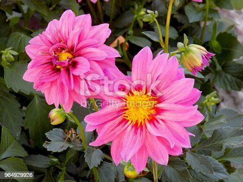 istock Two pink Dahlias flowers in the flower bad 964929926