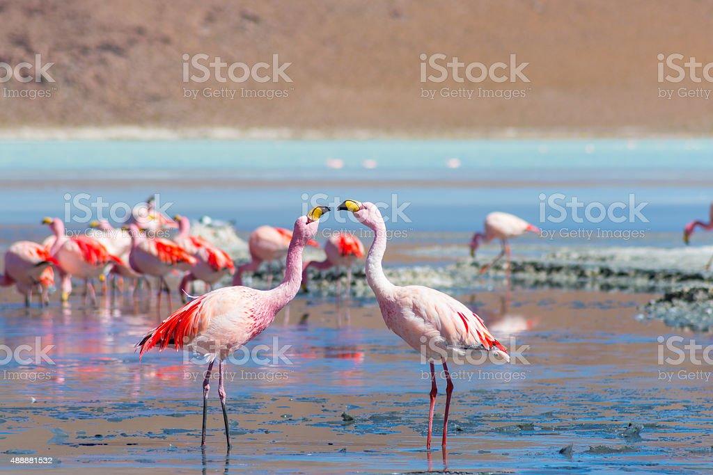 Two pink flamingos at 'Laguna Colorada' on the Bolivian Andes stock photo