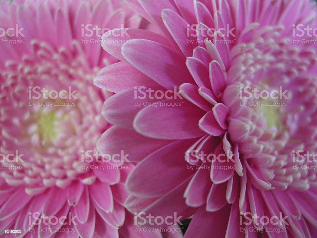 Two Pink Gerber Daisies. royalty-free stock photo