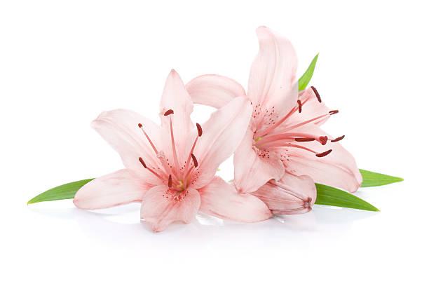 Two pink lily flowers Two pink lily flowers. Isolated on white background lily stock pictures, royalty-free photos & images