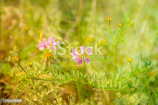 Two pink meadow flowers in green grass, blurred background