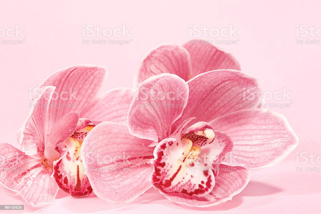 Two pink orchids. royalty-free stock photo