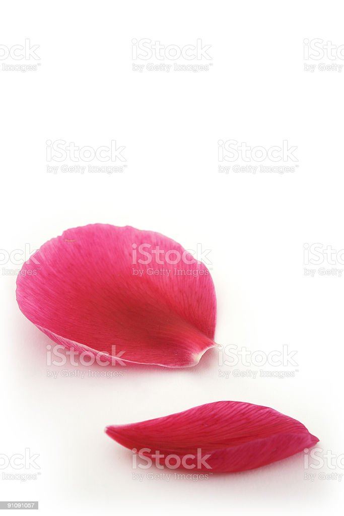 Two pink petals from a flower on a white background  stock photo