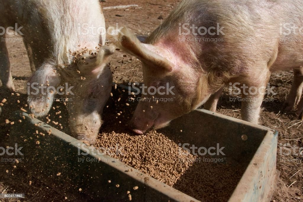 Two pink pigs feeding stock photo