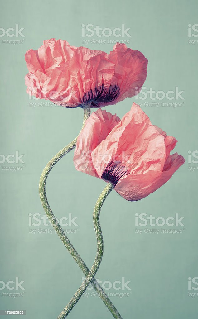 Two pink poppy flowers on a green background stock photo