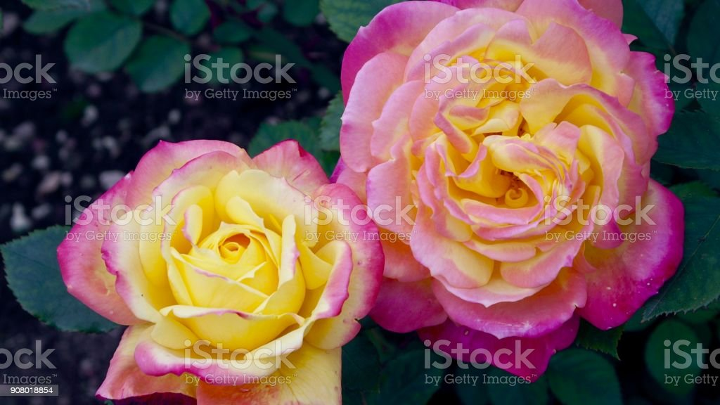 Two pink rose blossoms stock photo