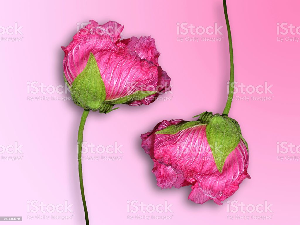 two pink roses isolated on plain background royalty-free stock photo