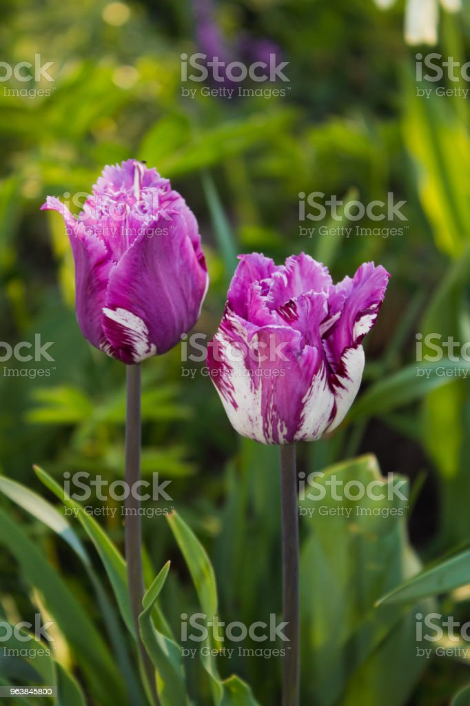 Two pink tulips on green background - Royalty-free Beauty Stock Photo