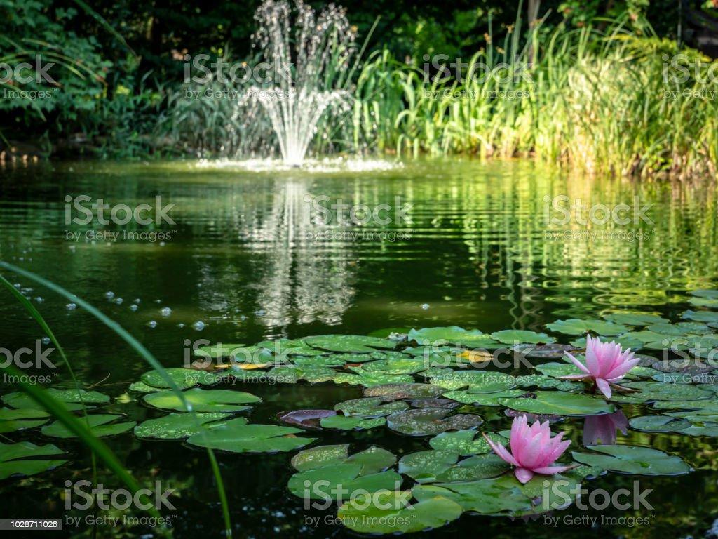 """Zwei Rosa Seerosen """"Marliacea Rosea"""" im Vordergrund des Teiches. Verschwommene Kaskadenbrunnen im Hintergrund. Sonniger Tag. - Lizenzfrei Alt Stock-Foto"""