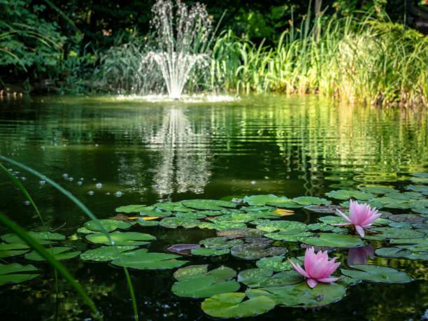 """zwei rosa seerosen """"marliacea rosea"""" im vordergrund des teiches. verschwommene kaskadenbrunnen im hintergrund. sonniger tag. - teich stock-fotos und bilder"""