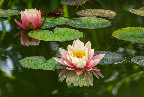 Two pink water lily or lotus flower Perry's Orange Sunset in garden pond. Close-up of Nympheas reflected in green water. Flower landscape for nature wallpaper with copy space. Selective focus