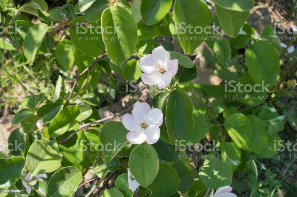 Two pinkish white flowers of quince in spring stock photo