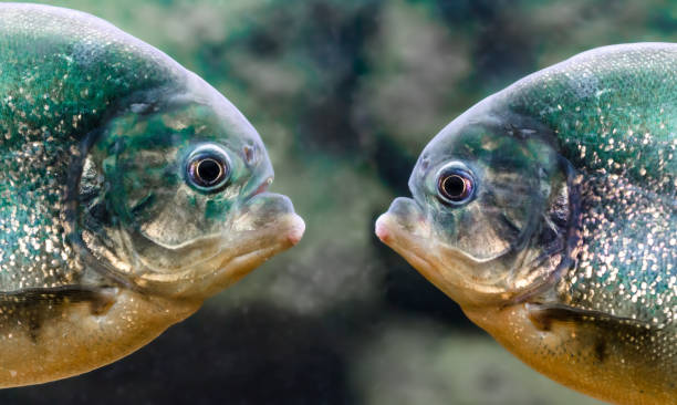 two piranhas are next to each other in the water close up - pirania zdjęcia i obrazy z banku zdjęć