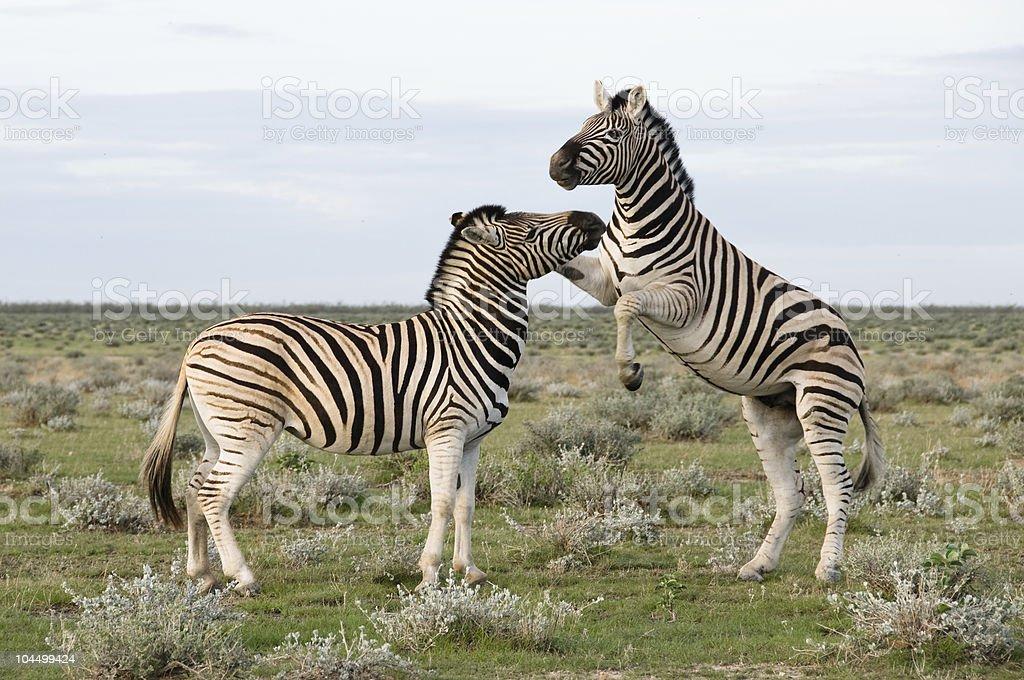 Two Plains Zebra, Namibia stock photo