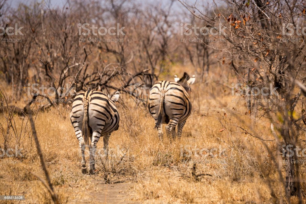 Two Plains Zebras Running away in Savannah, South Africa, Mapungubwe Park stock photo