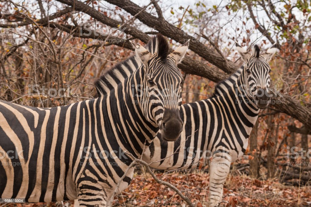 Two Plains Zebras Standing in Savannah, South Africa, Mapungubwe Park stock photo