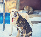 Two playful dogs playing outdoors in the snowy yard in winter. Labrador retriever with a mongrel dog