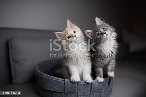 two playful  maine coon kittens standing in pet bed looking into the light  source curiously and  tilting their heads