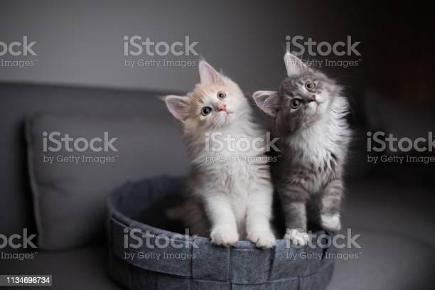 Two playful kittens picture id1134696734?b=1&k=6&m=1134696734&s=612x612&h=cbpvodt6lichr0f sjz62ni9aqe0pxtfpmabpqgvhtu=