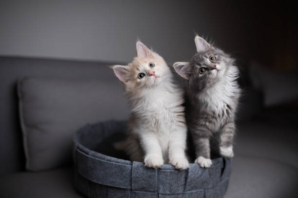 Two playful kittens picture id1134696734?b=1&k=6&m=1134696734&s=612x612&w=0&h=9mgeesunrvrgaizpzec0uluo5mq6a1qytmqzdunduyo=