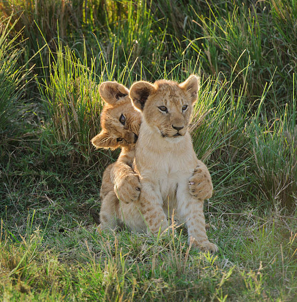 Two playful lion cubs stock photo