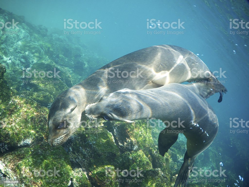 Two Playful Sea Lions Nuzzle Underwater stock photo