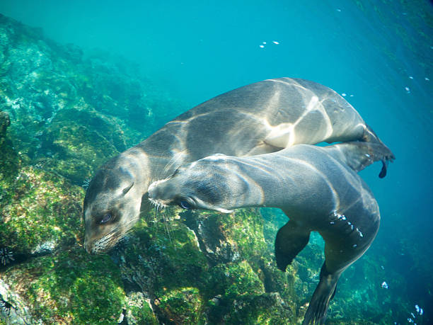 Two Playful Sea Lions Nuzzle Underwater Two playful sealions nuzzle each other underwater south american sea lion stock pictures, royalty-free photos & images