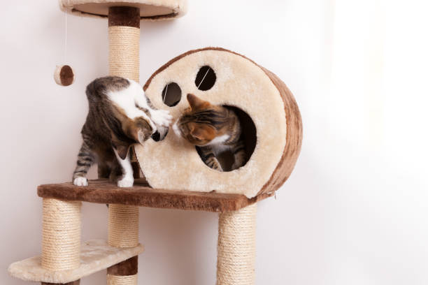 Two playful young cats play together on scratch tree picture id1132208647?b=1&k=6&m=1132208647&s=612x612&w=0&h=9hqnuajgsjqq hkyok5x5blddg68e5cpfyxsnefa9fg=
