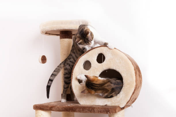 Two playful young cats play together on scratch tree stock photo