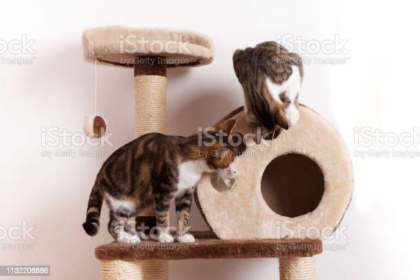 Two playful young cats play together on scratch tree picture id1132208886?b=1&k=6&m=1132208886&s=612x612&h=gnihwdp6llgie37nidz4gcoq0e3uq ipvyxitbsvnra=