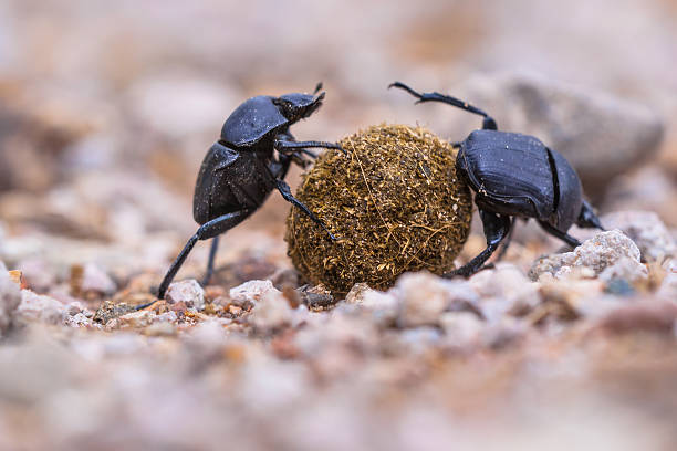 Two plugging dung beetles stock photo