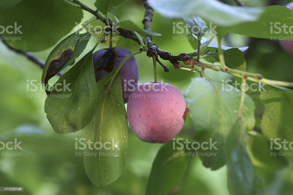 Two Plums And a Fly royalty-free stock photo