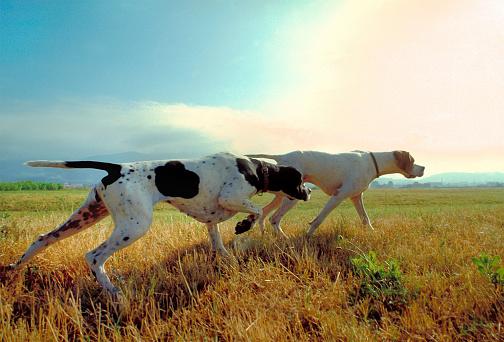 Due Cani Puntatore In Un Prato Con Cielo Sullo Sfondo - Fotografie stock e altre immagini di Animale