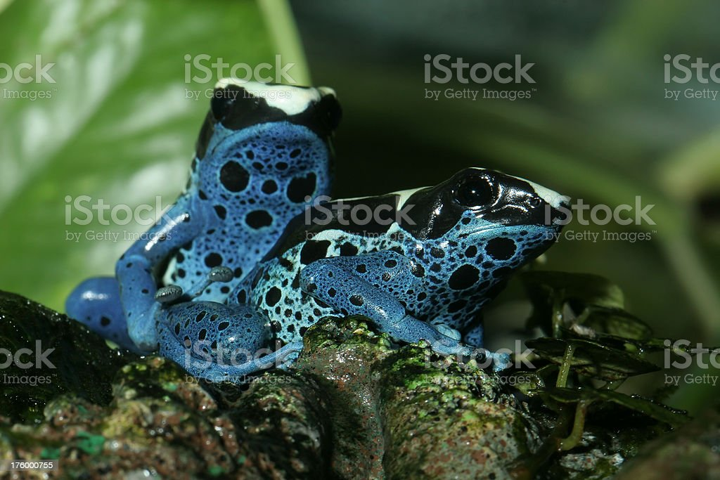 Two Poison Dart Frogs royalty-free stock photo