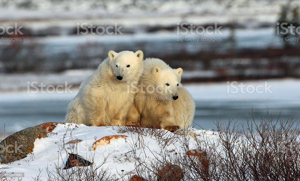 Two Polar Bear Cubs- Rock stock photo
