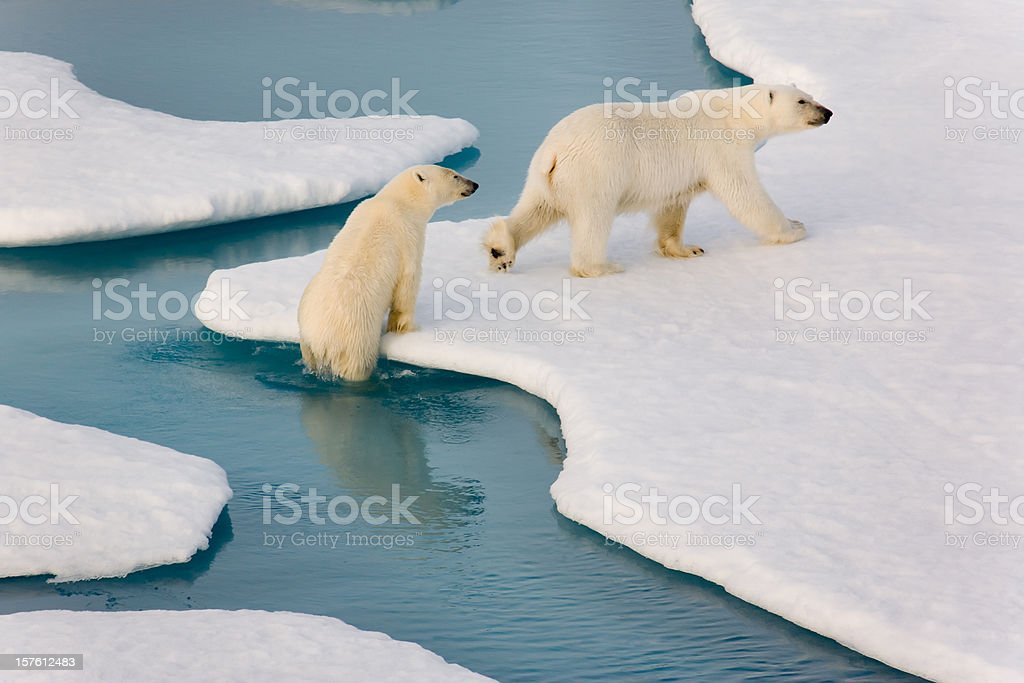 Two polar bears climbing out of water. stock photo
