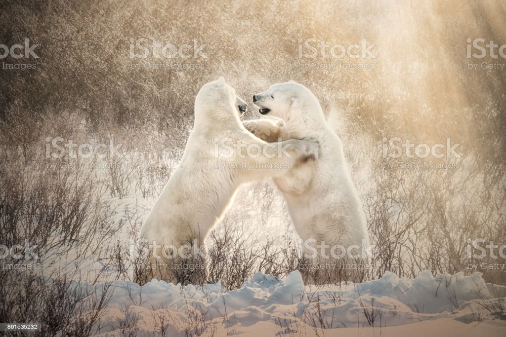 Two polar bears in their natural habitat standing upright and sparring playfully in the snow, with snow crystals spraying around them in the golden sunlight. Ursus maritimus. Churchill, Canada. stock photo