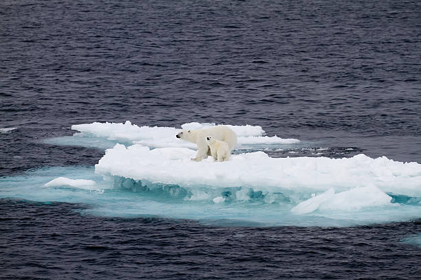 Two polar bears on a small ice floe  ice floe stock pictures, royalty-free photos & images