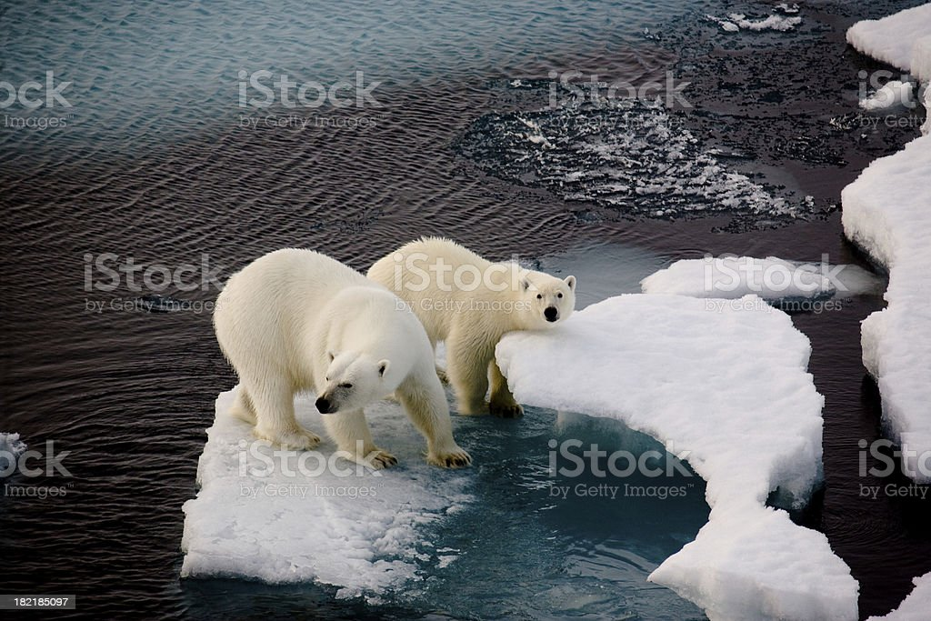 Two polar bears on a small ice floe stock photo
