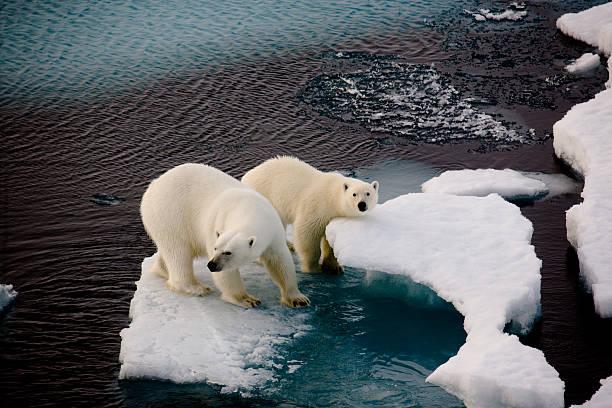 Two polar bears on a small ice floe stock photo