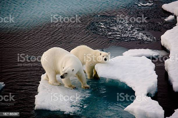 Two Polar Bears On A Small Ice Floe-foton och fler bilder på Arktis
