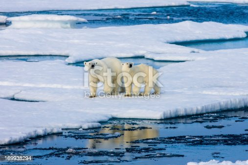 Two polar bears on a small ice floe surrounded by water and ice. Mother and two years old cub. Symbolic for climate situation in the arctic. Copy- space.