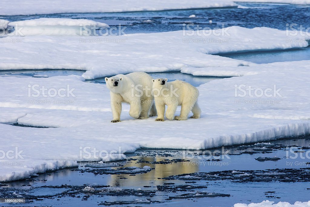 Two Polar bears on ice floe surrounded by water. stock photo
