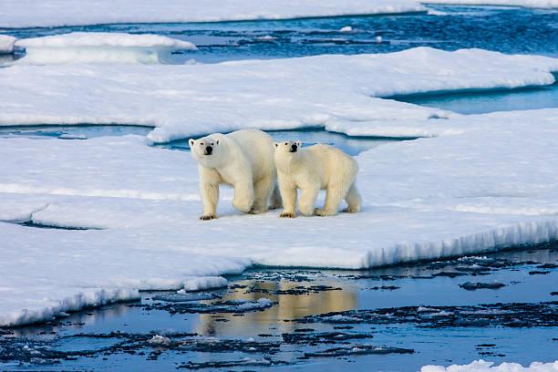 Cтоковое фото Двух полярных медведей на Льдина, окруженный водой.